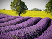 Lãng mạn sắc tím hoa oải hương ở Pháp