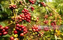 Đầu tư các chuỗi cà phê bền vững: Nói dễ, làm khó