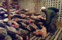 Ecuador bắt giữ tàu cá chở 300 tấn cá mập