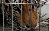 Nguy hiểm hình ảnh các nhân viên sở thú bắt hổ xổng chuồng