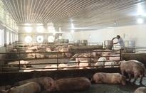Ngân hàng hỗ trợ ngành chăn nuôi lợn
