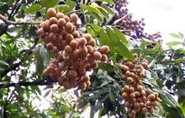 Xuất khẩu nhãn: Người trồng vẫn ở thế bị động