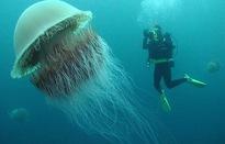 Chiêm ngưỡng những loài sứa đẹp lung linh, có tiền cũng khó kiếm