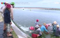 Vực dậy ngành nuôi tôm ở miền Trung sau sự cố môi trường biển
