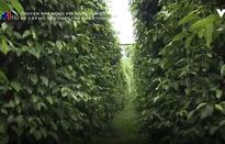 Phương pháp để cây hồ tiêu phát triển bền vững