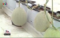 Tìm hiểu mô hình trồng dưa lưới theo tiêu chuẩn VietGAP