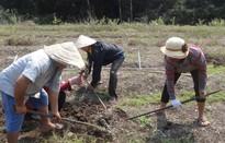 Nỗ lực đưa nhân sâm Phú Yên ra thị trường