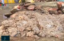 Thu mua… vảy cá tại An Giang