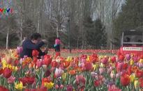Mãn nhãn mùa hoa tulip tuyệt đẹp ở Trung Quốc