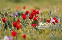 Hoa tulip hoang dã - Biểu tượng sống của thảo nguyên châu Âu