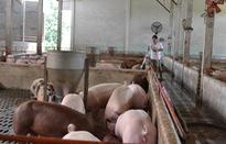 Giá lợn hơi tăng mạnh