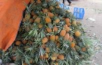 Tiền Giang: Giá dứa giảm giá mạnh, người trồng lao đao