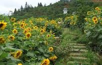 Cánh đồng hoa hướng dương ở Fansipan - điểm đến hot của giới trẻ