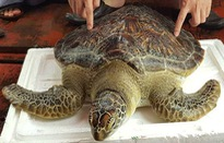 Thả rùa nặng 22kg về môi trường tự nhiên