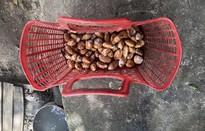 """Lâm Đồng """"sốt"""" hạt sầu riêng"""