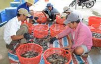 Phát hiện 350 cơ sở bơm tạp chất vào tôm trên cả nước