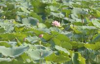 Trà sen Làng Chèm, một nét đẹp của người Hà Nội
