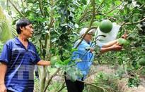 Tiềm năng xuất khẩu của bưởi Việt Nam