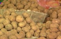 Dán tem chống hàng giả cho khoai tây Đà Lạt