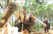 Hiệu quả kinh tế từ trồng rừng gỗ lớn