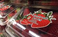 """Người trồng dâu tây Australia điêu đứng do """"cuộc khủng hoảng kim khâu"""""""