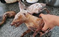 Sự thật đau xót phía sau các đường dây tàn sát đẫm máu động vật hoang dã