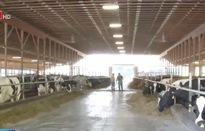 Khủng hoảng ngành chăn nuôi bò sữa tại Mỹ