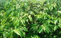 Thông tin mua lá cà phê giá cao ở Lâm Đồng là sai sự thật