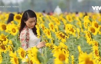 Lạc bước giữa cánh đồng hoa hướng dương tuyệt đẹp