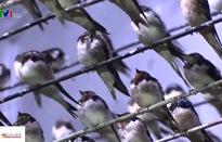 Du khách đổ về Cù lao Long Khánh dịp cận Tết ngắm chim én