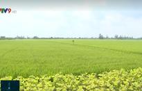 Tăng cường quản lý sâu bệnh hại lúa Đông Xuân dịp Tết