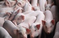 Khuyến cáo người nuôi lợn cẩn trọng khi tái đàn