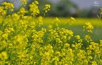 Ngắm cánh đồng hoa cải vàng nở rộ ở ngoại thành Hà Nội