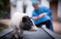 Khan hiếm thịt lợn đã khai hoả cuộc chạy đua nhân giống siêu lợn