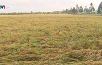 Nông dân ĐBSCL kiến nghị tạm trữ gạo vụ Đông Xuân
