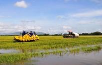 Giá lúa ở ĐBSCL cải thiện sau chỉ đạo mua tạm trữ của Chính phủ