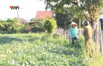 Làm luật trên ruộng dưa khiến nông dân bức xúc