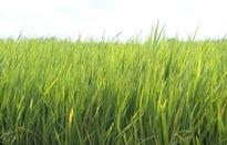 Nguy cơ bùng phát sâu bệnh nguy hiểm trên lúa vụ Xuân