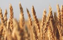 Mỹ thắng Trung Quốc trong vụ kiện liên quan tới ngũ cốc