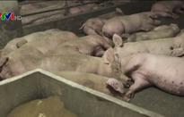 Dịch tả lợn châu Phi có thể là yếu tố quyết định đàm phán Mỹ-Trung