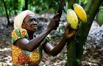 Ghana gia tăng giá trị cho cây cacao