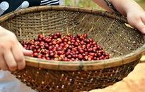 Giá cà phê kỳ hạn tháng 7 trên sàn ICE giảm nhẹ