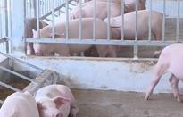 Hộ chăn nuôi lợn ở Đồng Nai không dám tái đàn