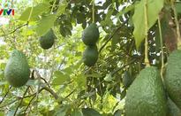 Tây Nguyên chuyển đổi trồng cây ăn quả thay cây công nghiệp