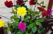 Những loại hoa chơi Tết dành cho... nhà nghèo