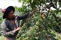 Dak Nong to host Vietnam Coffee Day in December