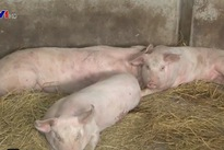 African swine fever eliminated in Binh Dinh province