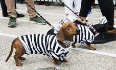 Thú vị cuộc diễu hành của những chú chó xúc xích