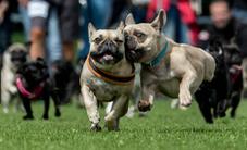 Thú vị cuộc thi chó mặt xệ chạy đua tại Đức