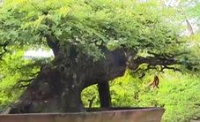 Thú chơi bonsai cổ thụ